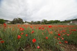 Campos de amapolas