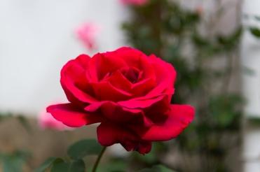 Rosa roja 1